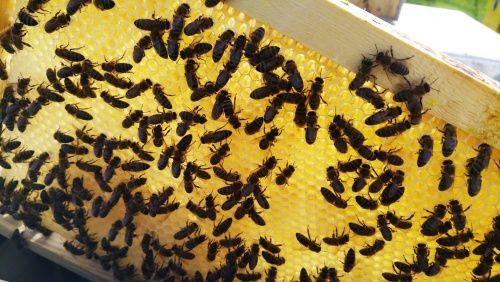 Подходящи ли са пчелните продукти за Вегани? - обяснено от активен пчелар - част 1