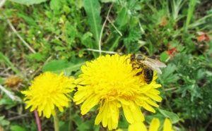 Глухарче с пчеличка събираща нектар