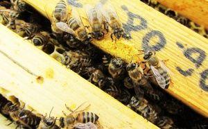 Подходящи ли са пчелните продукти за Вегани? - обяснено от активен пчелар - част 3