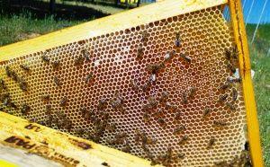 Пчелен мед пред запечатване и нектар
