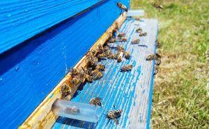 Пчелите по време на паша