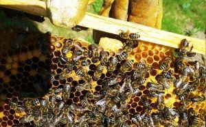 Пчелна майка и маточник